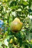 Сияющие очень вкусные груши вися от ветви дерева в саде Стоковые Изображения RF