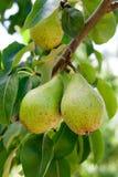 Сияющие очень вкусные груши вися от ветви дерева в саде Стоковые Фото