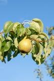 Сияющие очень вкусные груши вися от ветви дерева в саде Стоковое фото RF