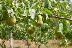 Сияющие очень вкусные груши вися от ветви дерева в саде Стоковые Изображения