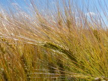 Сияющие поля зерна Стоковое Фото