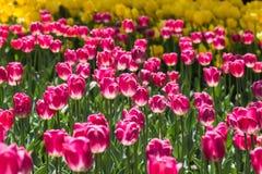 Сияющие тюльпаны Стоковая Фотография