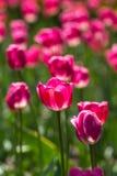 Сияющие тюльпаны Стоковое Изображение