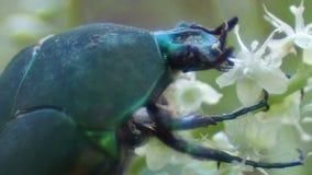 Сияющий зеленый жук пожирая цветок Стоковое Изображение RF