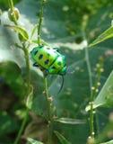 Сияющий изумрудный жук Стоковое Изображение RF