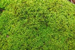 Сияющий мох на утесе Стоковое Изображение RF