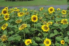 Сияющий солнцецвет в парке Chatuchak стоковые изображения rf