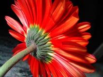 Сияющий солнцецвет Стоковое фото RF