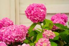 Сияя вещи вверх Розовое цветене гортензии полностью Цвести цветки в саде лета Цветение гортензии на солнечный день стоковые фото
