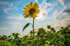 Сила солнцецвета Стоковые Фотографии RF