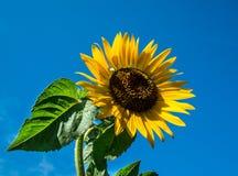 Сила солнцецвета Стоковая Фотография RF