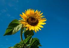 Сила солнцецвета Стоковые Изображения RF