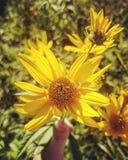 Сила солнцецвета Стоковое фото RF