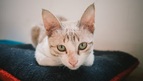 Сидение на корточках кота на подушке Стоковые Фотографии RF