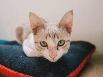Сидение на корточках кота на подушке Стоковое Изображение RF