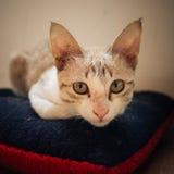 Сидение на корточках кота на подушке Стоковая Фотография