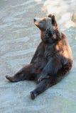 Сидеть бурого медведя Стоковая Фотография RF