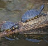 Сидеть довольно--2 черепахи отражая Стоковое Фото
