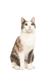 Сидеть серого цвета, апельсина и белых женский кота увиденный от переднего lo Стоковые Изображения