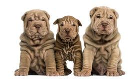 Сидеть 3 щенят Shar Pei, смотря кулачок Стоковая Фотография