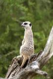 Сидеть Meerkat бдительный и смотреть вокруг Стоковые Фото