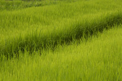 Силовые линии поля риса Стоковые Фотографии RF