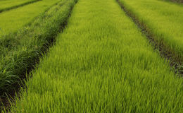 Силовые линии поля риса Стоковая Фотография RF