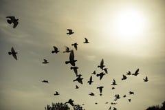 Силуэты голубей летания в небесах Стоковые Изображения RF