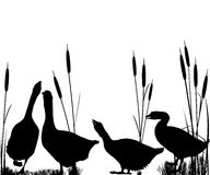 Силуэты гусыни и тростников Стоковое Изображение RF