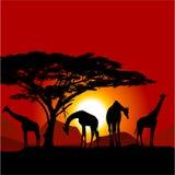 Силуэты жирафов на африканском заходе солнца Стоковое Изображение RF