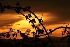 Силуэты back-light куста ежевики на заходе солнца Стоковые Изображения RF
