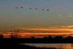 Силуэты Sandhill вытягивают шею летание на заходе солнца стоковое фото rf