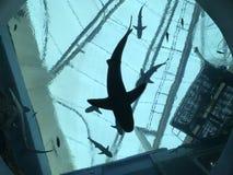Силуэт акулы Стоковая Фотография RF