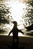 Силуэт африканского пингвина на пляже Стоковые Изображения