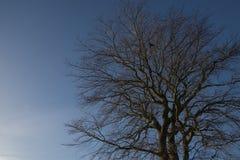 Силуэт безлистного дерева против голубого неба Стоковое Фото