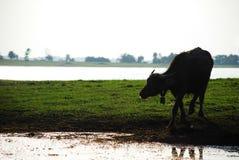 Силуэт буйвола есть в поле около реки стоковые фото