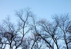 Силуэт ветвей дерева против голубого неба Стоковое Изображение RF