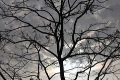 Силуэт ветвей дерева стоковые фотографии rf
