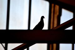 Силуэт голубя Стоковые Изображения RF