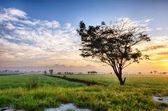 Силуэт дерева в крае обширного поля риса Стоковая Фотография