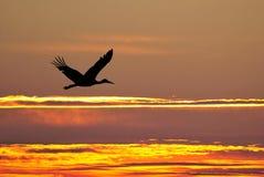 Силуэт летания аиста на заходе солнца Стоковое Изображение