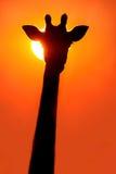 Силуэт жирафа на заходе солнца Стоковое Фото