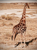 Силуэт жирафа Стоковые Фото