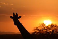 Силуэт жирафа Стоковое Изображение