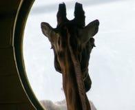 Силуэт жирафа Стоковое Фото