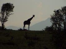 Силуэт жирафа Стоковые Фотографии RF