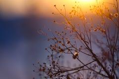 Силуэт завода зимы на заходе солнца Стоковое Изображение