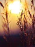 Силуэт завода зимы на заходе солнца Стоковые Фотографии RF