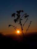 Силуэт завода на заходе солнца Стоковое фото RF