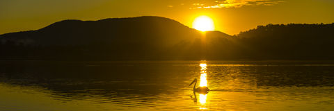 Силуэт заплывания пеликана на заходе солнца Стоковое Изображение